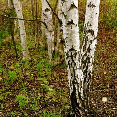birch-in-spring