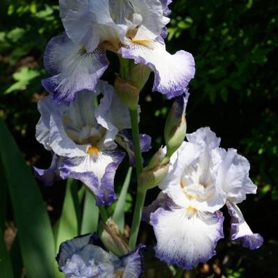 passion-iris