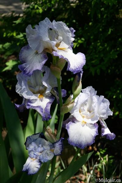 Passion Iris