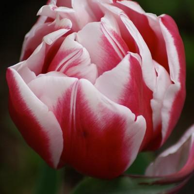 solo-tulip