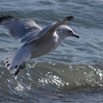 surfin-seagul