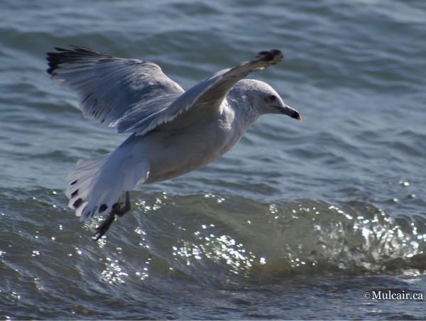 Surfin Seagul